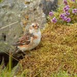 7681 Snow Bunting (Plectrophenax nivalis), Grimsey Island, Iceland