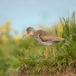 7682 Common Redshank (Tringa totanus), Grimsey Island, Iceland