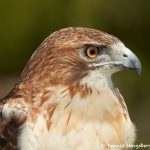 7683 Red-tailed Hawk (Buteo jamaicensis)