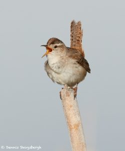 7691 Marsh Wren (Cistothorus palustris)