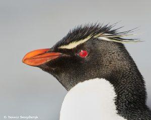 7667 Rockhopper Penguin (Eupytes chrysocome)