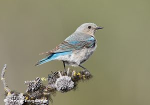 7698 Mountain Bluebird (Sialia currucoides)