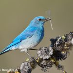 7699 Male Mountain Bluebird (Sialia currucoides)