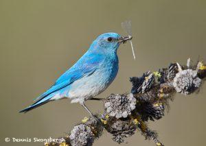 7699 Male Mountain Bluebird (Sialia currucoides)