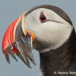 7702 Atlantic Puffin (Fratercula arctica)