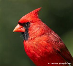 7704 Northern Cardinal (Cardinalis cardinals)