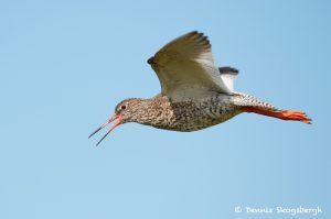 7705 Common Redshank (Tringa totanus)