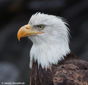 7761 Bald Eagle