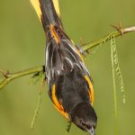 7707 Baltimore Oriole (Icterus galbula)