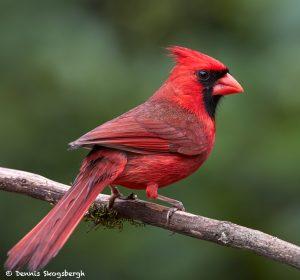 7708 Male Northern Cardinal (Cardinalis cardinalis)