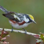 7710 Chestnut-sided Warbler (Setophaga pensylvanica)