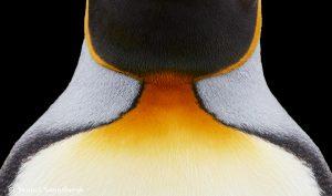 7663 King Penguin, Falkland Islands