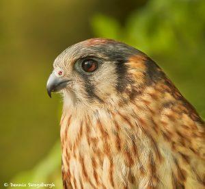 7713 American Kestrel (Falco spaeverius)