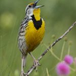 7714 Western Meadowlark (Sturnella neglects)