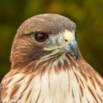 7715 Red-tailed Hawk (Buteo jamaicensis)