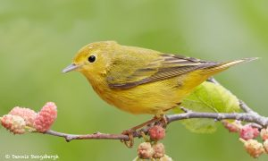 7717 Yellow Warbler (Setophaga petechia)