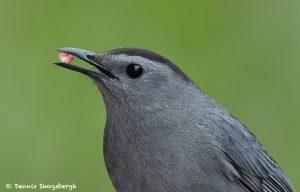 7721 Gray Catbird (Dumetella carolinensis)