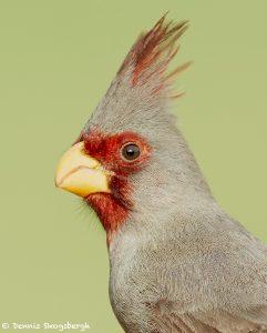 7725 Pyrrhuloxia (Cardinalis sinuatus)