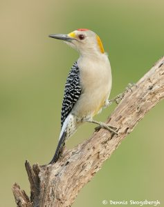 7727 Male Golden-fronted Woodpecker (Melanerpes aurifrons)