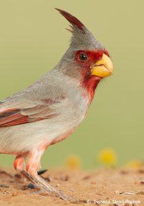 7728 Pyrrhuloxia (Cardinalis sinuatus)