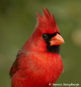 7729 Male Northern Cardinal (Cardinalis cardinalis)