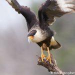 7735 Adult Crested Caracara (Caracara cheriway)