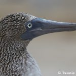 7739 Blue-footed Booby (Sula nebouxii)