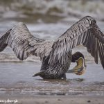 7758 Brown Pelican (Pelicanus occidentalis)