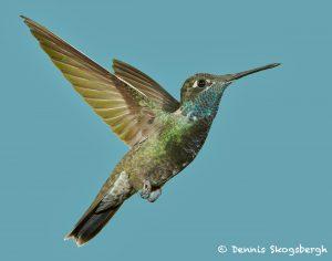 7685 Magnificant Hummingbird (Eugenes-fulgens)