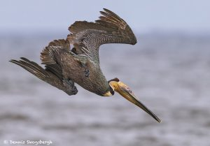 7760 Brown Pelican (Pelicanus occidentalis)