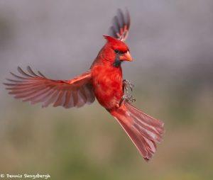 7744 Male Northern Cardinal (Cardinalis cardinalis)