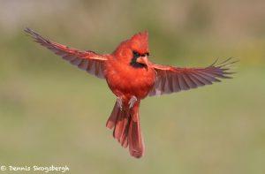 7746 Male Northern Cardinal (Cardinalis cardinalis)