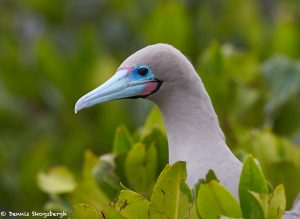 7748 Red-footed Booby (Sula nebouxii)