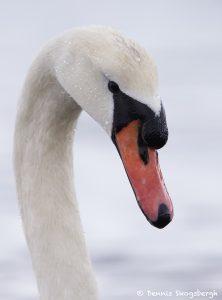 7751 Mute Swan (Cygnus olor)