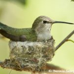 7752 Female Black-chinned Hummingbird (Archilochus alexandri)
