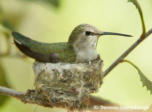 7752 Female Black-chinned Hummingbird (Archilochus alexandri)