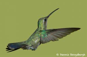 7754 Female Broad-billed Hummingbird (Cyanthus-latirostris)