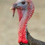 7753 Wild Turkey (Meleagris gallopavo)