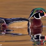 7755 Male Wood Duck (Aix sponsa)