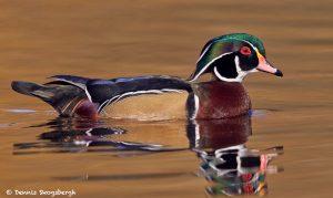 7755 Male Wood Duck (Aix sponsa)