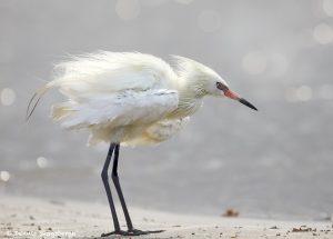 7756 White Morph Reddish Egret (Egretta rufescens)