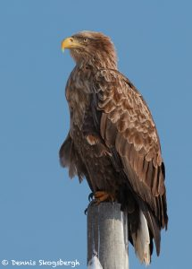 7681 White-tailed Sea) Eagle (Haliaeetus albicilla)
