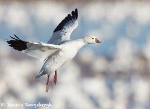 7767 Ross's Goose (Chen rossi)