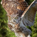 7672 Great Horned Owl (Bubo virginianus)