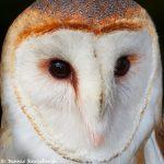 7673 Barn Owl (Tyto alba)