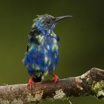 7679Immature Male Red-legged Honeycreeper (Cyanerpes cyaneus)