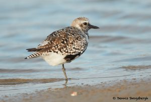 7747 Adult Female Black-bellied Plover (Pluvialis squatarola), Galveston, Texas