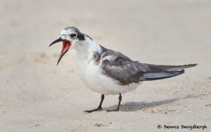 7730 Black Tern (Chlidonias niger), Galveston, Texas