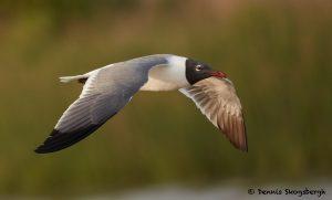 7742 Laughing Gull (Leucophaeus atricilla), San Luis Pass, Galveston, Texas