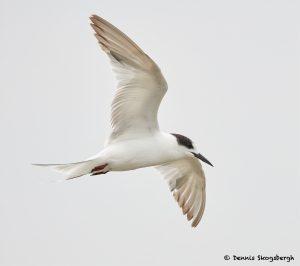 7741 First Winter Forster's Tern (Sterna forester), Galveston, Texas